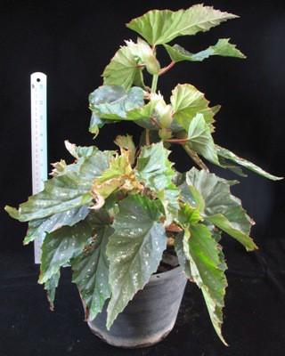 Begonia (T35) 12