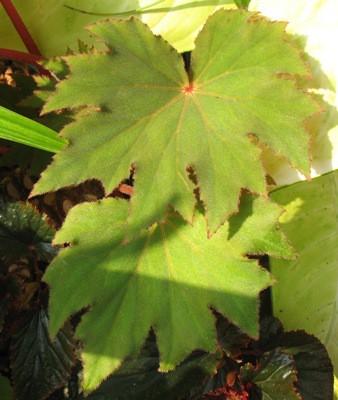 Begonia (T23) 12