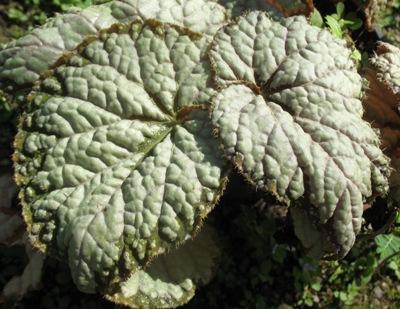 Begonia (T38 ) 12
