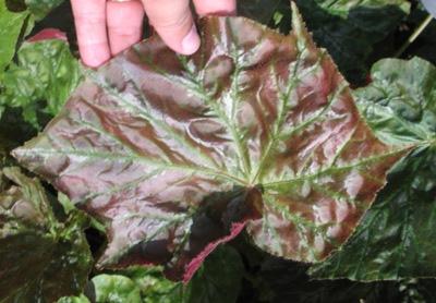 Begonia (T39) 12