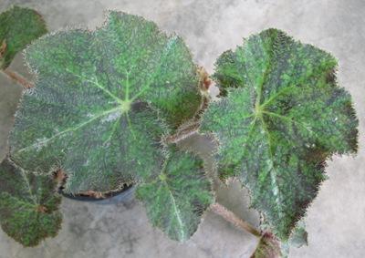 Begonia (T40) 12