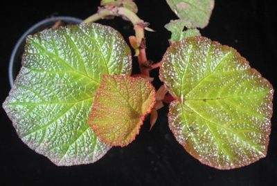 Begonia (T43) 12