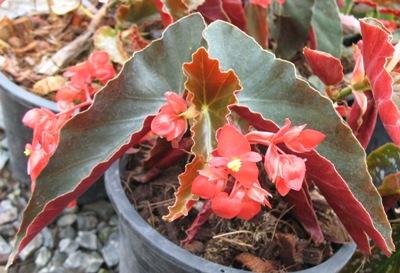 Begonia (T44) 12