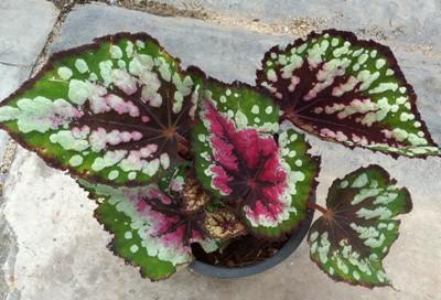 Begonia (T51) 12