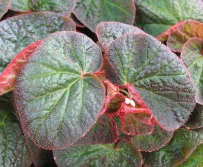 Begonia thelmae var. major 12