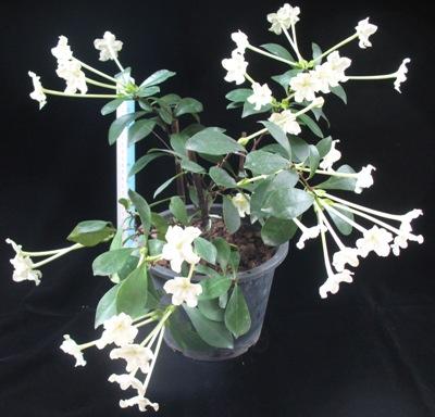 Brunfelsia nitida (TF) 35