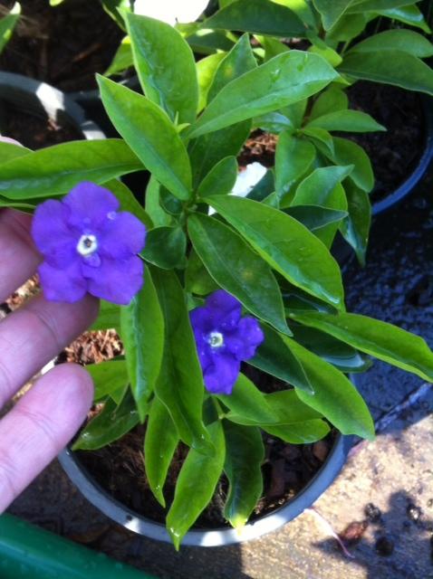 Brunfelsia pilosa 25