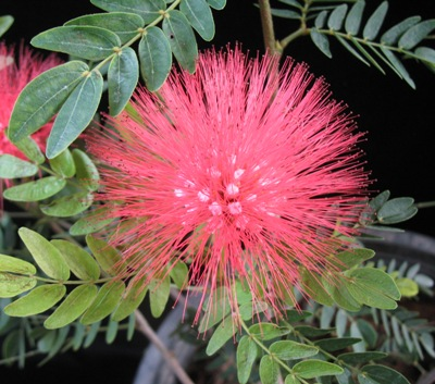 Calliandra haematophala (red flower) Leguminosae 30
