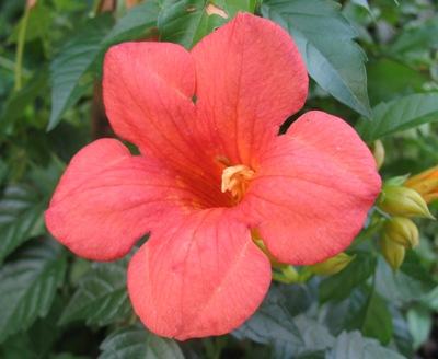 Campsis grandiflora (Climbing) 24