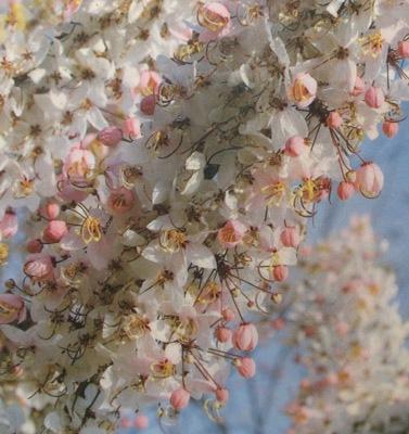 Cassia bakeriana 30
