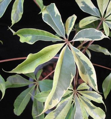 Ceiba pentandra variegata 40