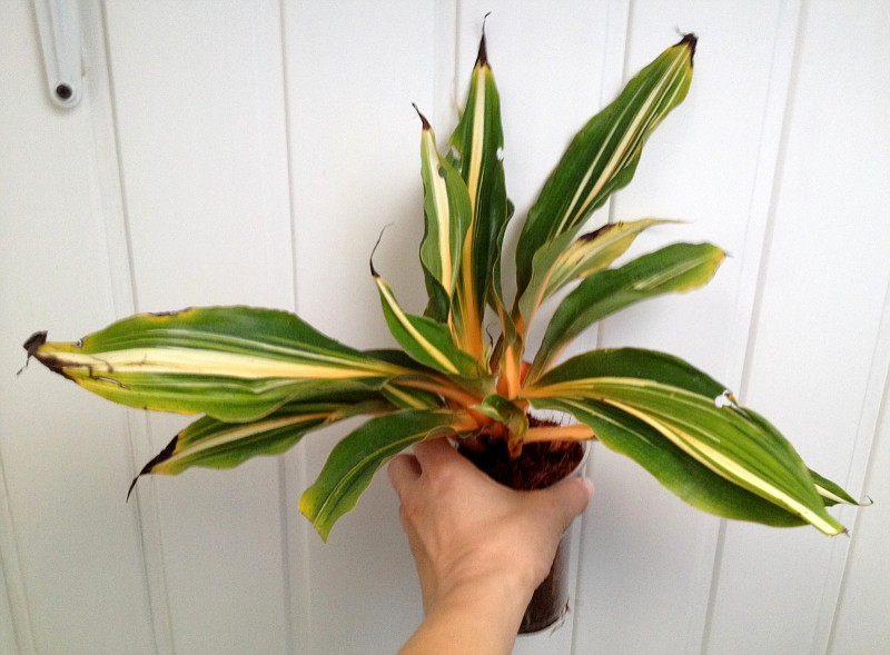 Chlorophytum orchidastrum variegated 30