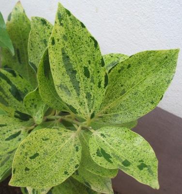 Cinnamomum zeylanicum variegated 60-90-120
