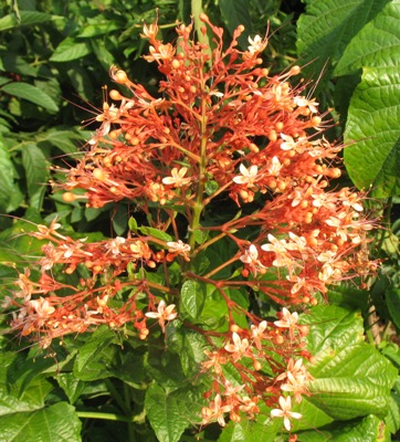 Clerodendrum paniculatum (orange flower) 30