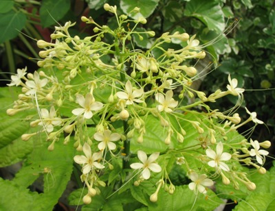Clerodendrum paniculatum (yellow flower) (TF) 32