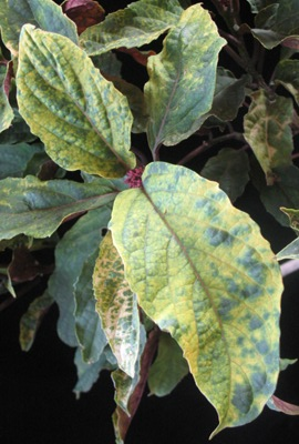 Clerodendrum quadriloculare (yellow variegated) 30