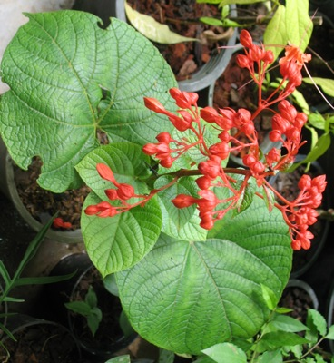 Clerodendrum speciosissimum (red flower) (TF) 45