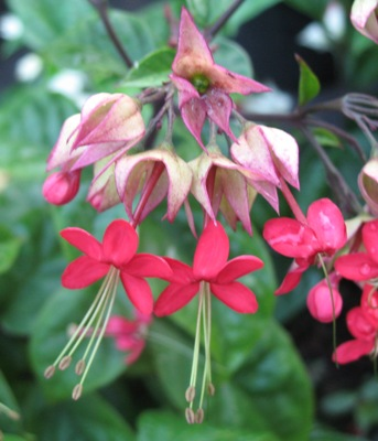 Clerodendrum splendens 20