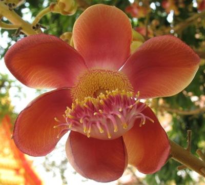 Couroupita guianensis 26