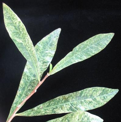 Crescentia cujete variegated 50