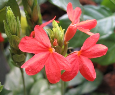 Crossandra sp.(T01) red flower 20