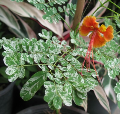 Delonix regia variegated (peacock flower) 44