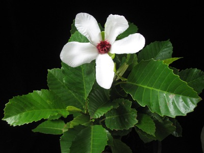 Dillenia philippinensis (white flower) (TF) 38
