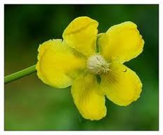 Dillenia suffruticosa(yellow flower) 38