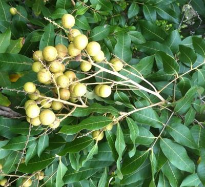 Dimocarpus longan 26