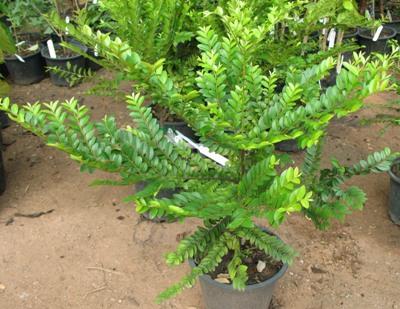 Diospyros buxifolia 23