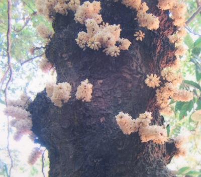 Diospyros cauliflora 30
