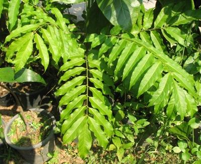 Dracontomelon dao Anacardiaceae 30