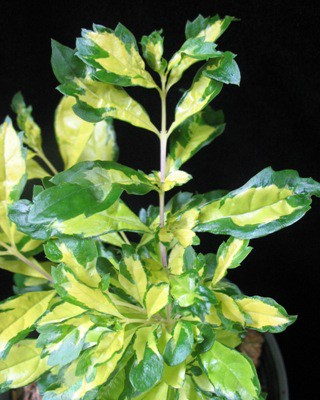 Duranta erecta Green and Gold 24