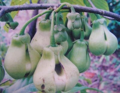 Enicosanthum membranaceum Annonaceae 30