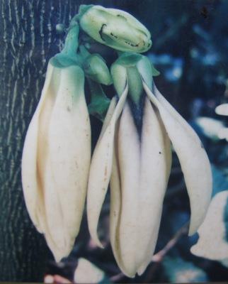 Enicosanthum sp.(T01) Annonaceae 35