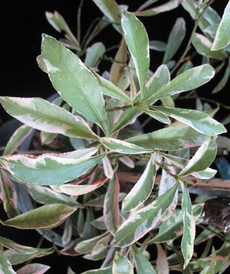 Exoecaria cochinchinensis variegated (narrow leaf) 20