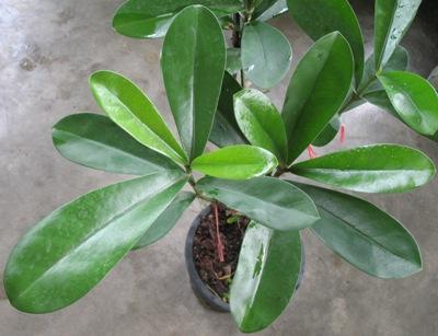 Fagraea ceilanica (oval leaf) 30