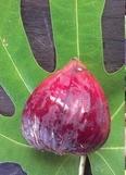 Fícus cárica cv Black Genoa 44