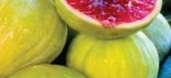 Fícus cárica cv Green Ischau 54