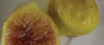 Fícus cárica cv Inca Gold 35