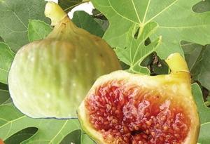 Fícus cárica cv Osborn 35