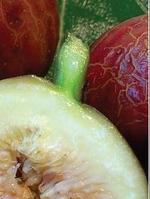 Fícus cárica cv Quantico 35
