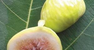 Fícus cárica cv White Genoa 35