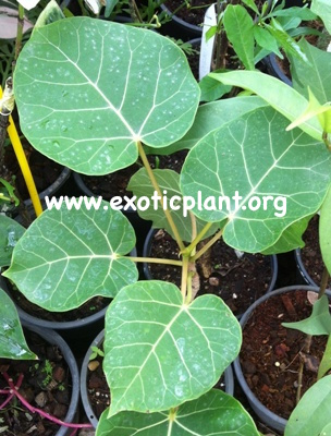 Ficus abulitifolia (from cutting) 45