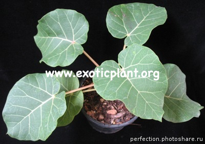 Ficus abulitifolia (orange petiole) South Africa 44