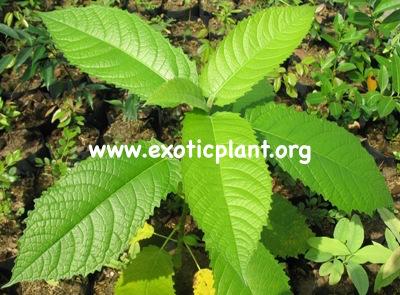 Ficus albipila 35