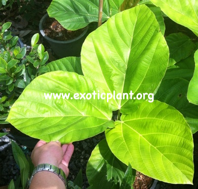 Ficus auriculata (Malaysia) 35