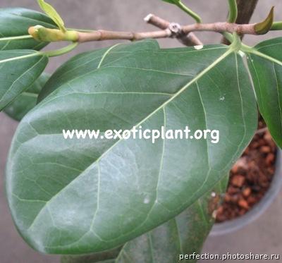 Ficus benghalensis 23