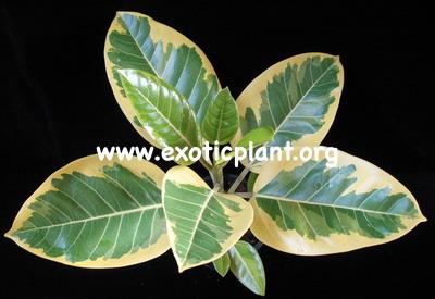 Ficus benghalensis  Bengal Tiger  24