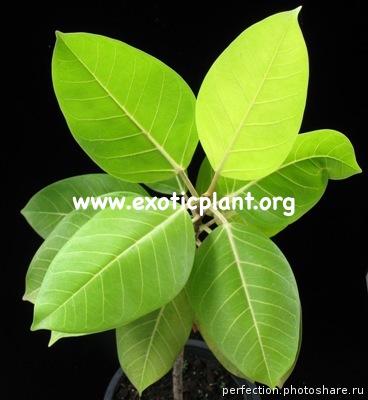 Ficus benghalensis  Bengal Tiger  Selection 54